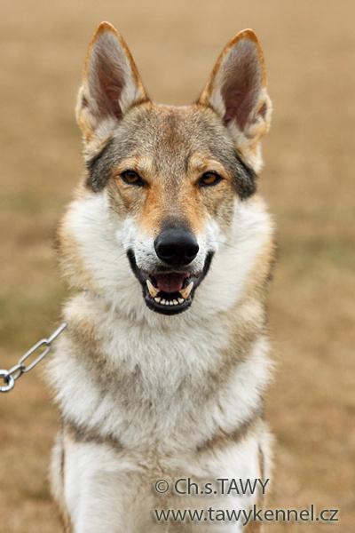 http://galerie.cswolfdog.cz/albums/userpics/10002/IMG_1046.jpg