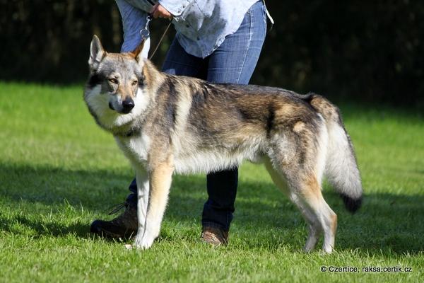 Nejkrásnější pes - Ziggy Lee z Molu Es