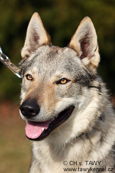 http://galerie.cswolfdog.cz/albums/userpics/10002/IMG_7296~0.jpg