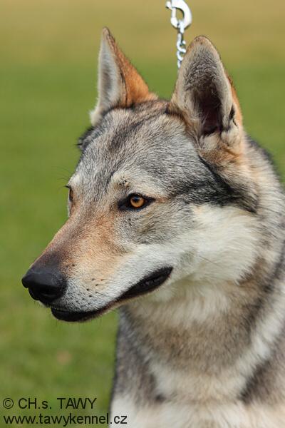 http://galerie.cswolfdog.cz/albums/userpics/10002/IMG_8911.jpg