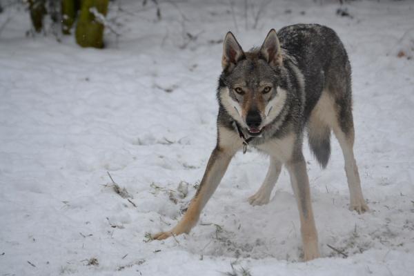 http://galerie.cswolfdog.cz/albums/userpics/10005/DSC_0029~0.JPG