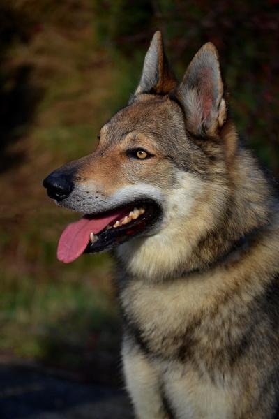 http://galerie.cswolfdog.cz/albums/userpics/10005/DSC_0253~0.JPG