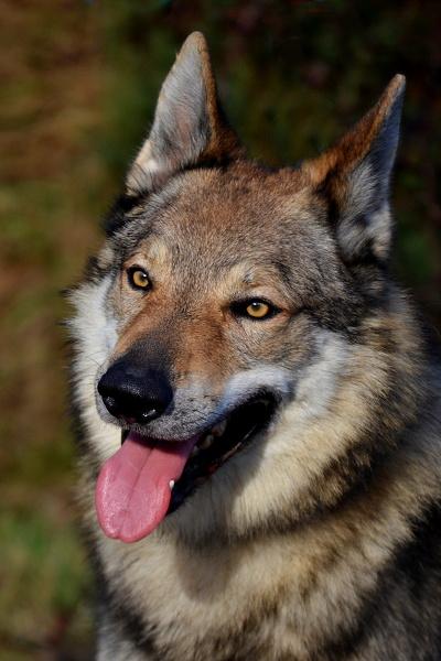 http://galerie.cswolfdog.cz/albums/userpics/10005/DSC_0259~0.JPG