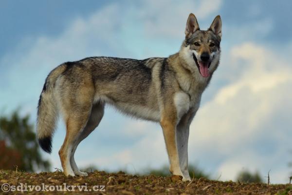 http://galerie.cswolfdog.cz/albums/userpics/10005/untitled-0623.jpg